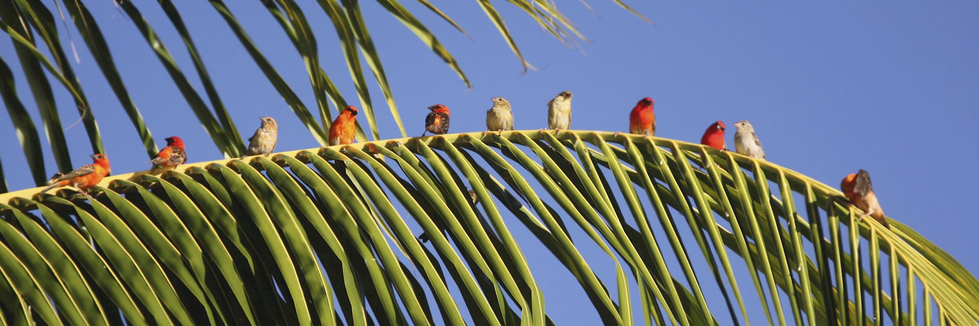 Mauritius Fody birds