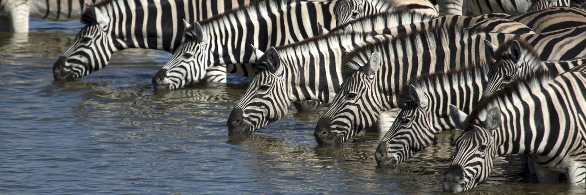 Zebra in the Niassa Reserve