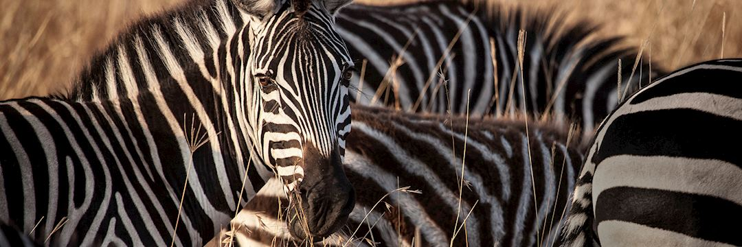 Zebra in morning light
