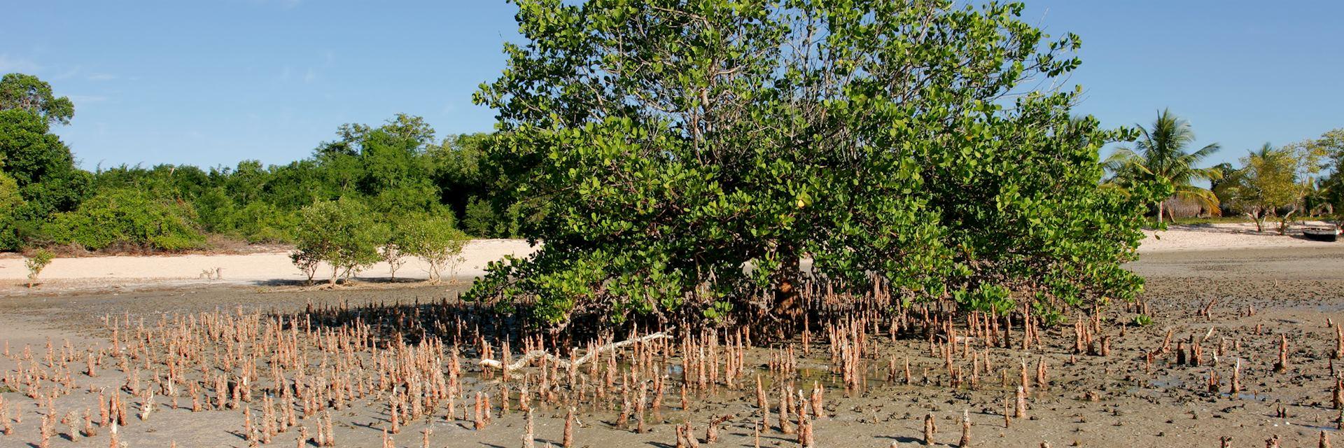 Mangrove tree in Vilanculos Coastal Wildlife Sanctuary