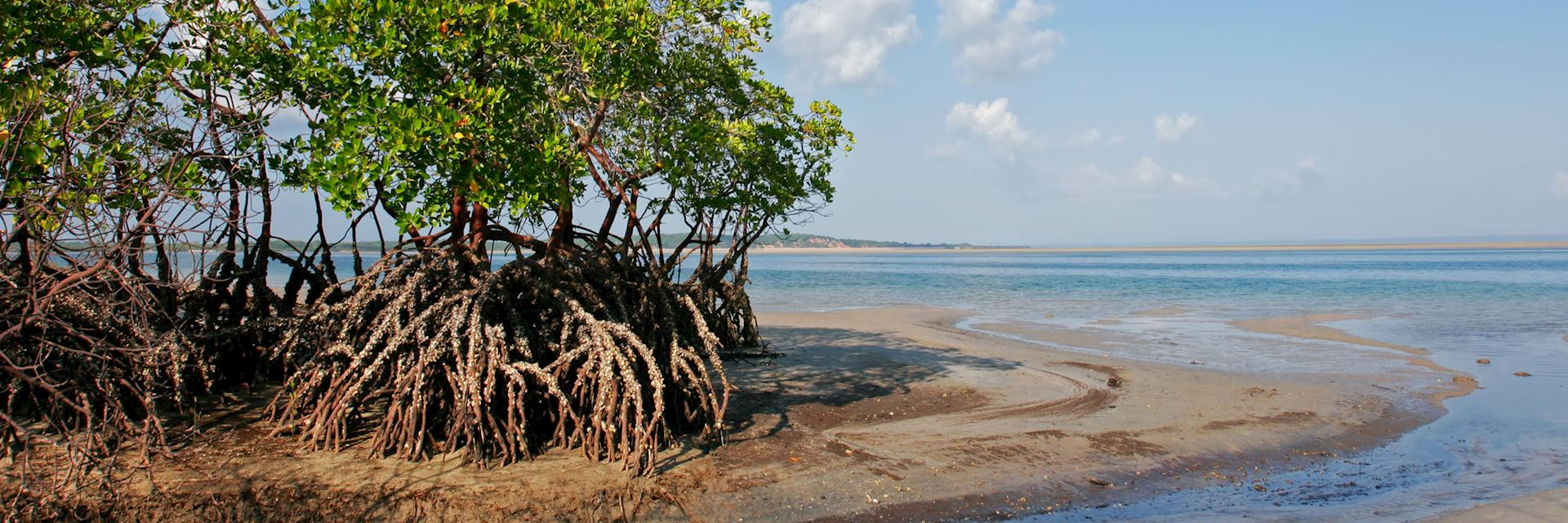 Mangrove trees, Mozambque beach