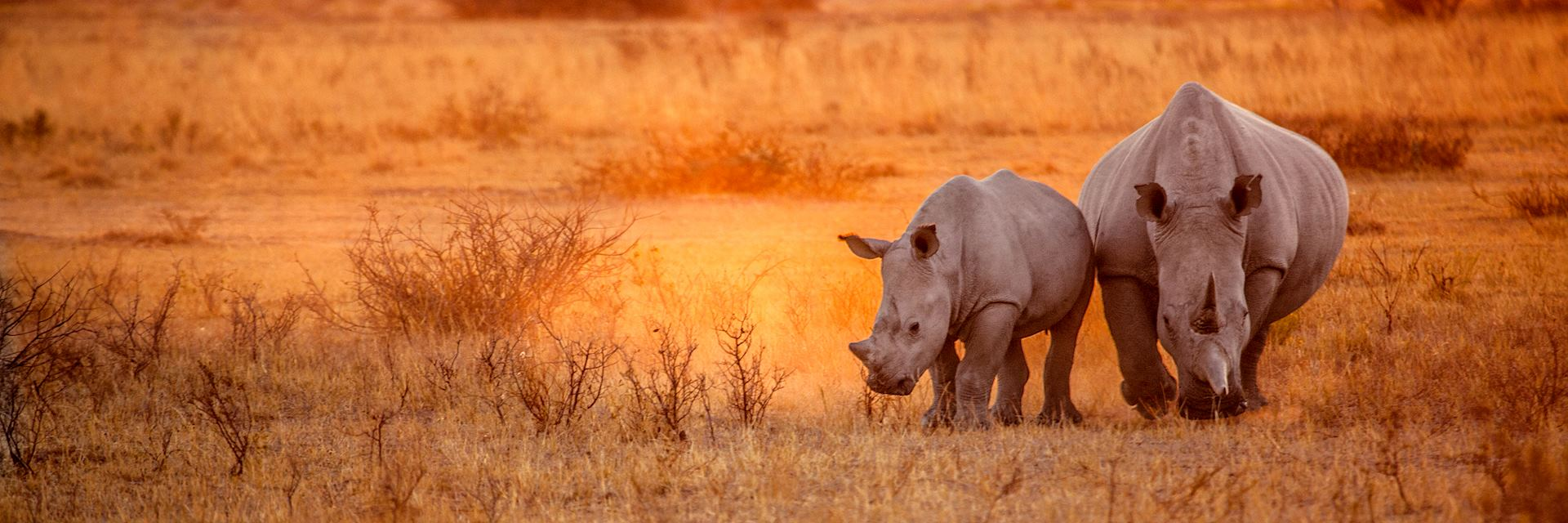 Rhino couple grazing in Damaraland
