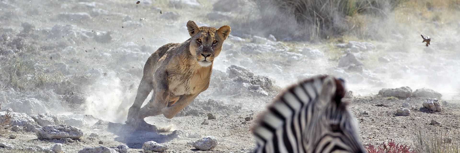Lion in Etosha National Park