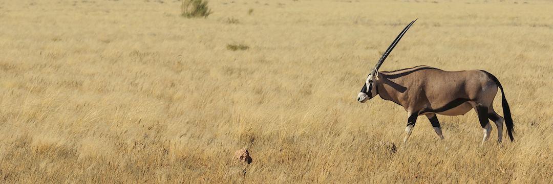 Gemsbok in Kaokoland, Namibia