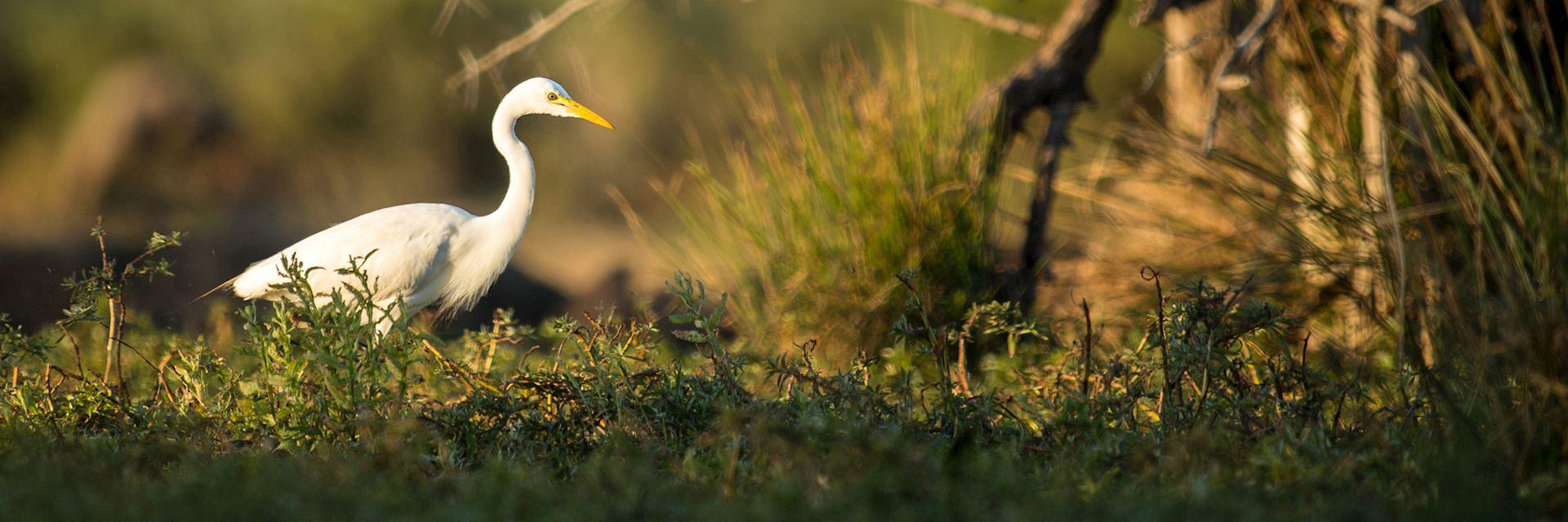 White egret, Katima Mulilo