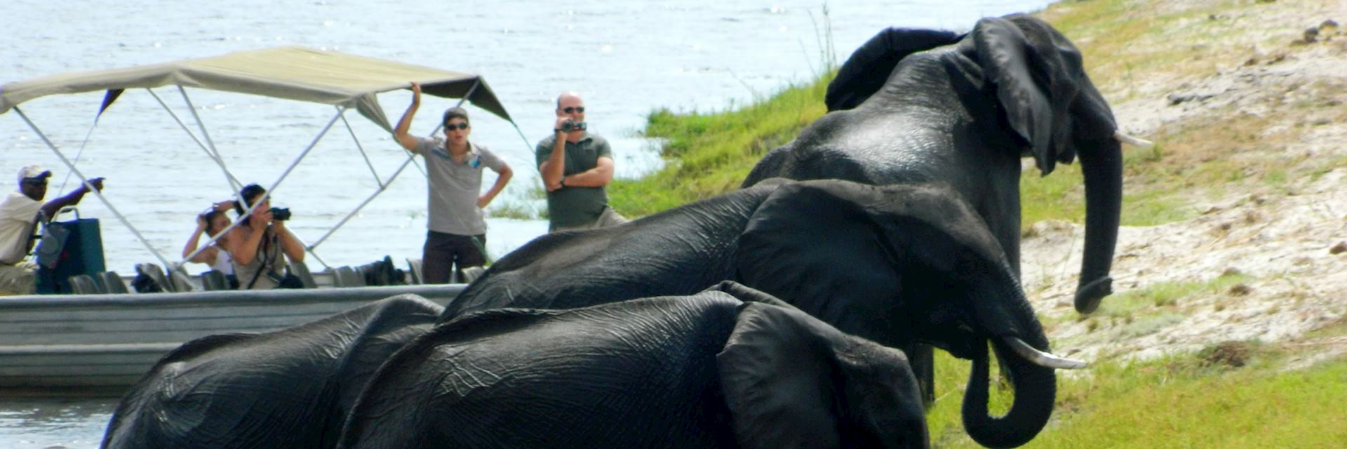 Elephants crossing river, Impalila Island, Namibia