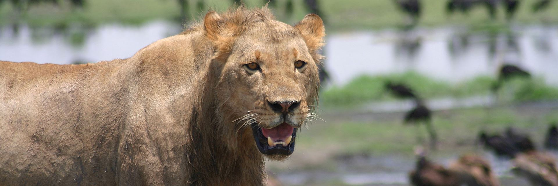 Lion on Chobe Riverfront