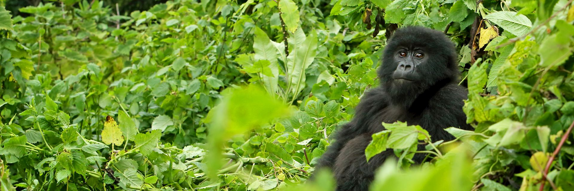 Mountain gorilla in Volcanoes National Park, Rwanda