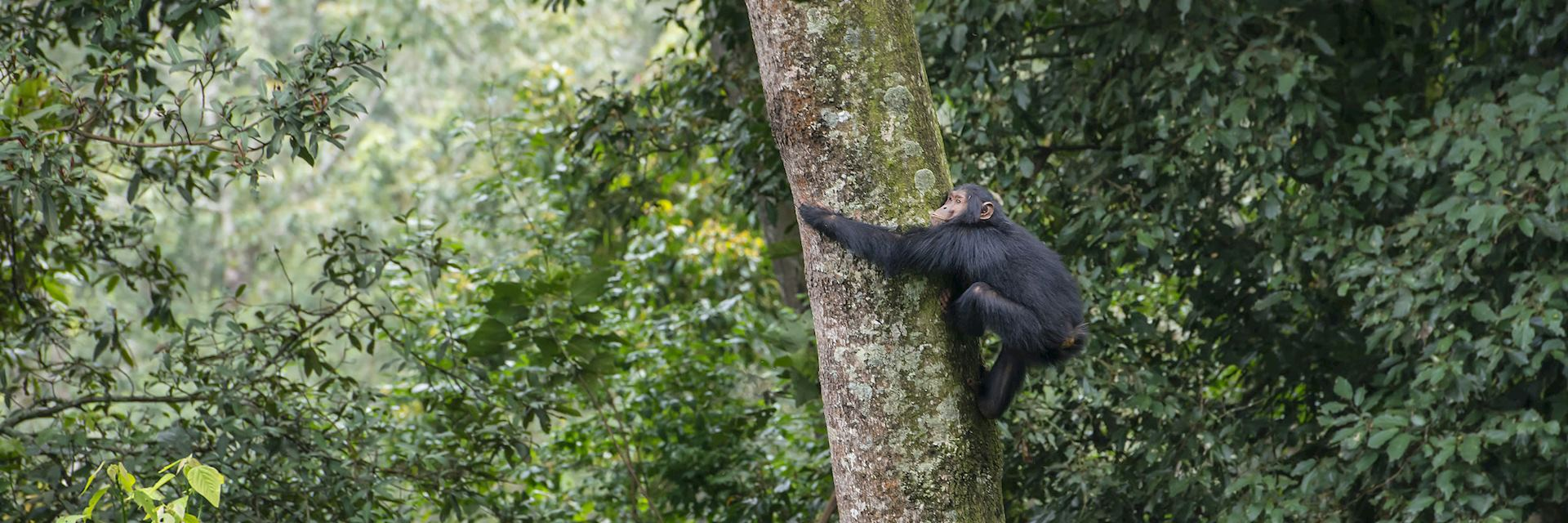 Chimpanzee in a tree, Nyungwe Forest
