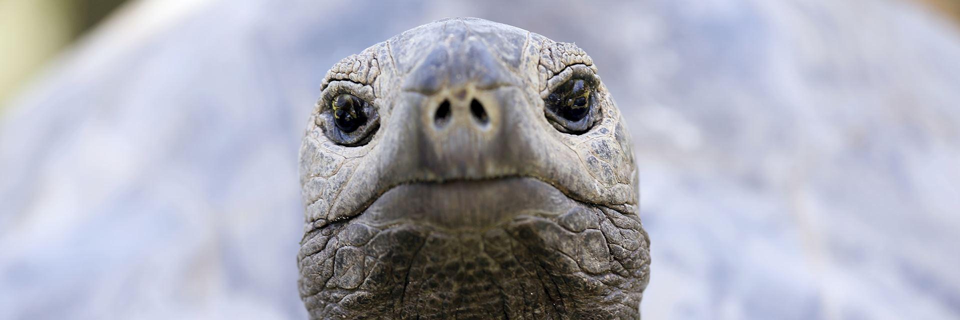 Giant tortoise, Corieuse Island