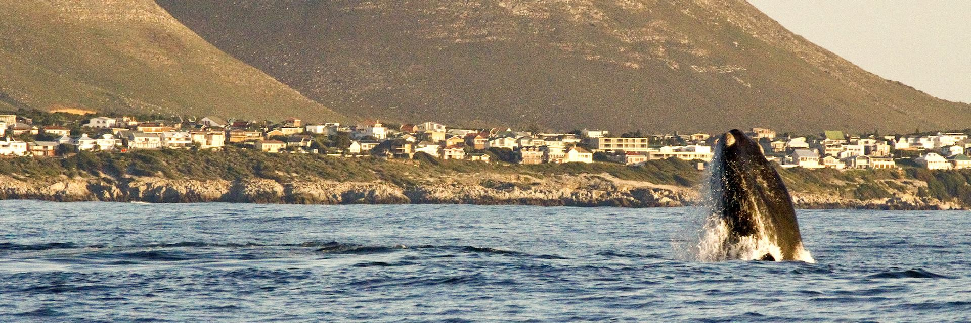 Southern right whale close to the shore in Hermanus