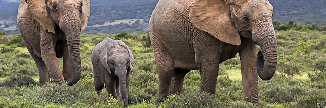 Elephant are one of the Big Five you can see in the Eastern Cape