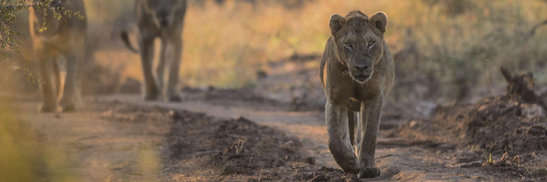 Lions in Kruger National Park