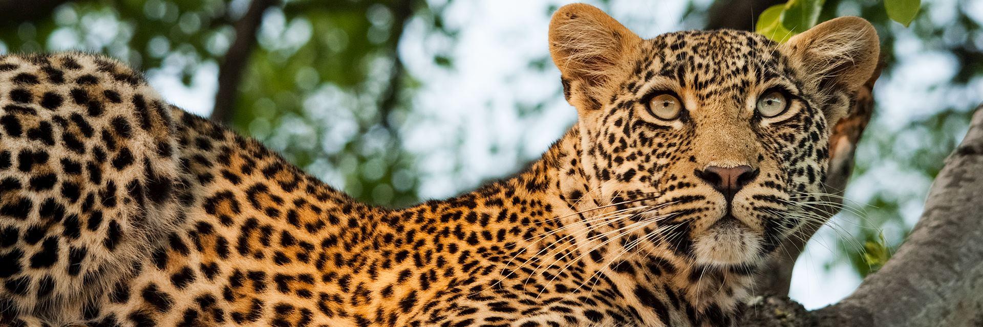 Leopard in Sabi Sands Game Reserve