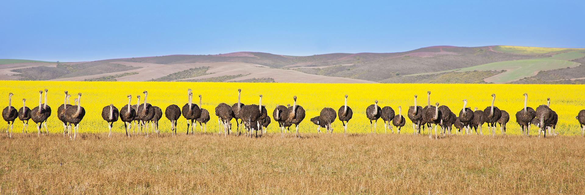 Ostriches along the Garden Route