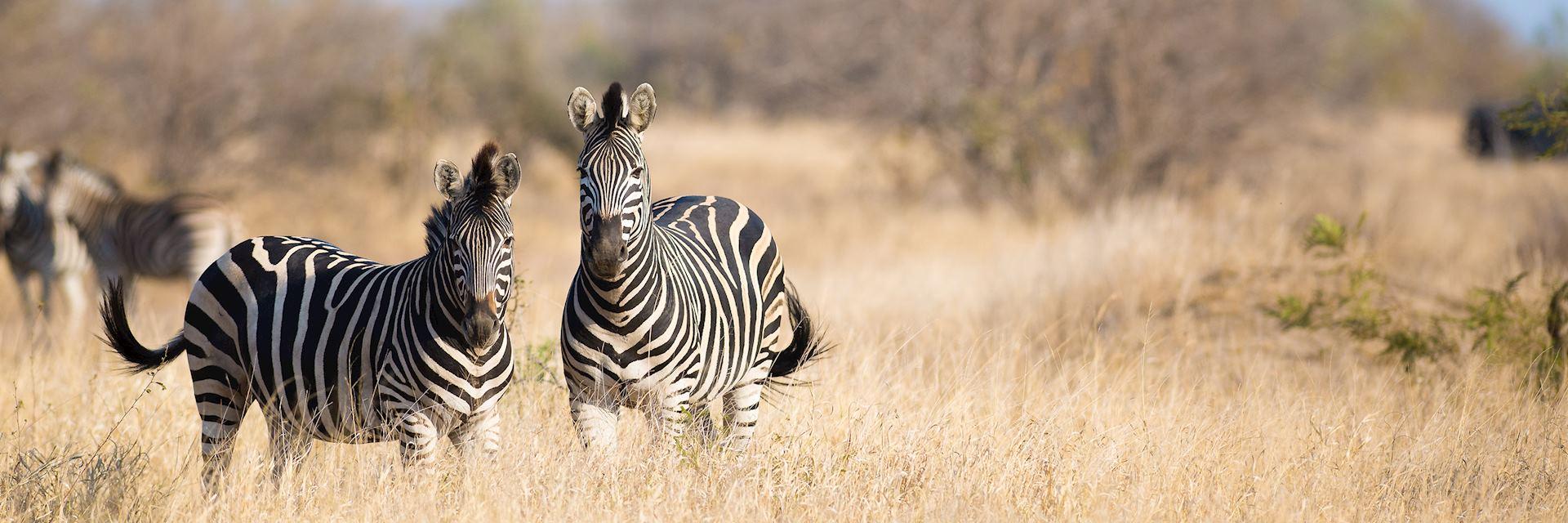 Zebra in Greater Kruger National Park