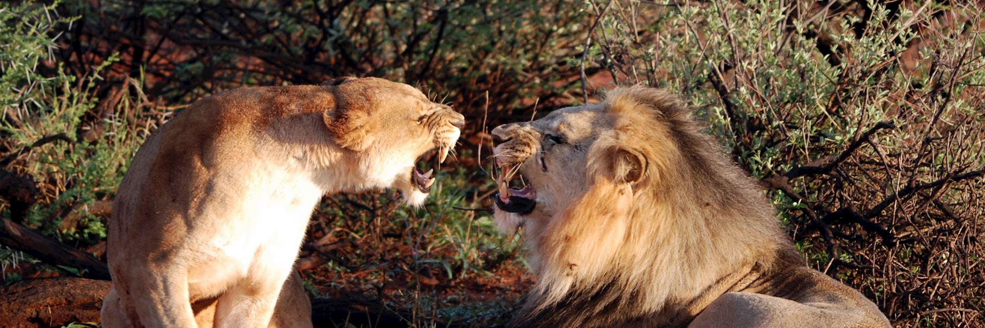 Lions, Madikwe Game Reserve