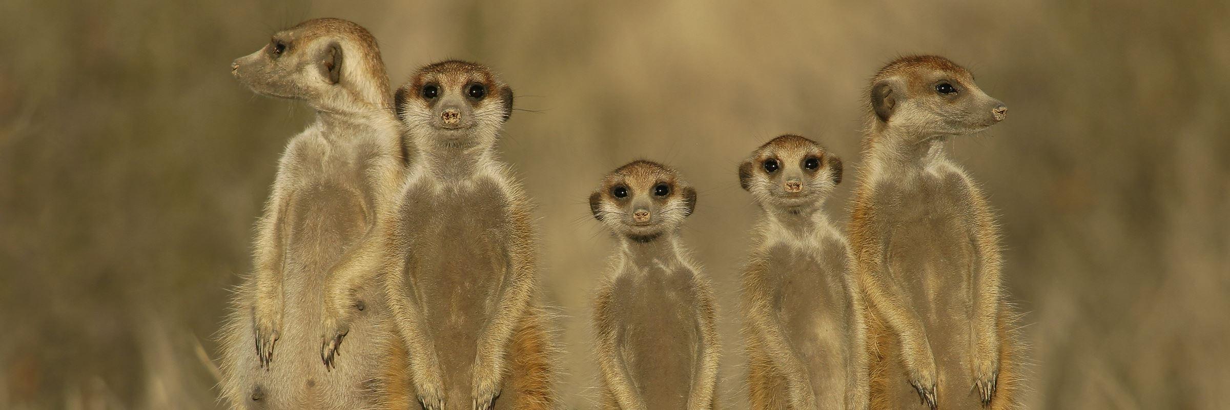 Meerkats, Kruger National Park
