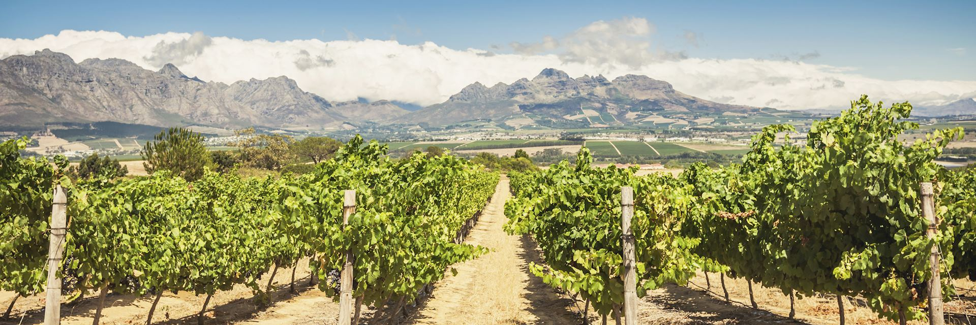 Vineyards, Stellenbosch