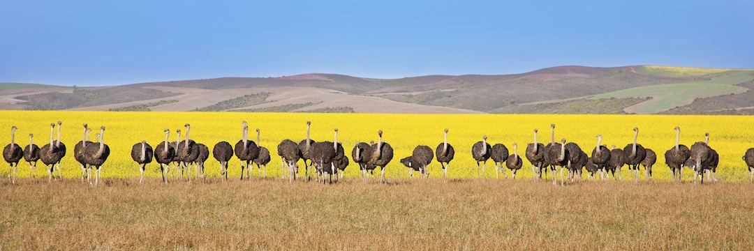 Ostriches, Garden Route