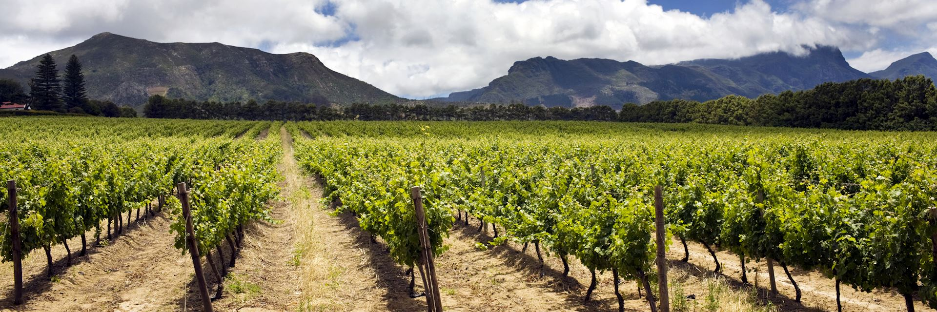 Vineyards, Cape Region