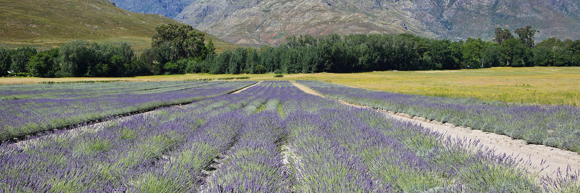 Lavender fields in Franschhoek, South Africa
