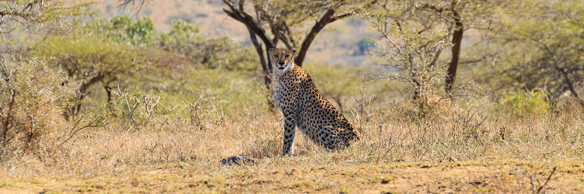 Cheetah in Hluhluwe-IMfolozi Game Reserve