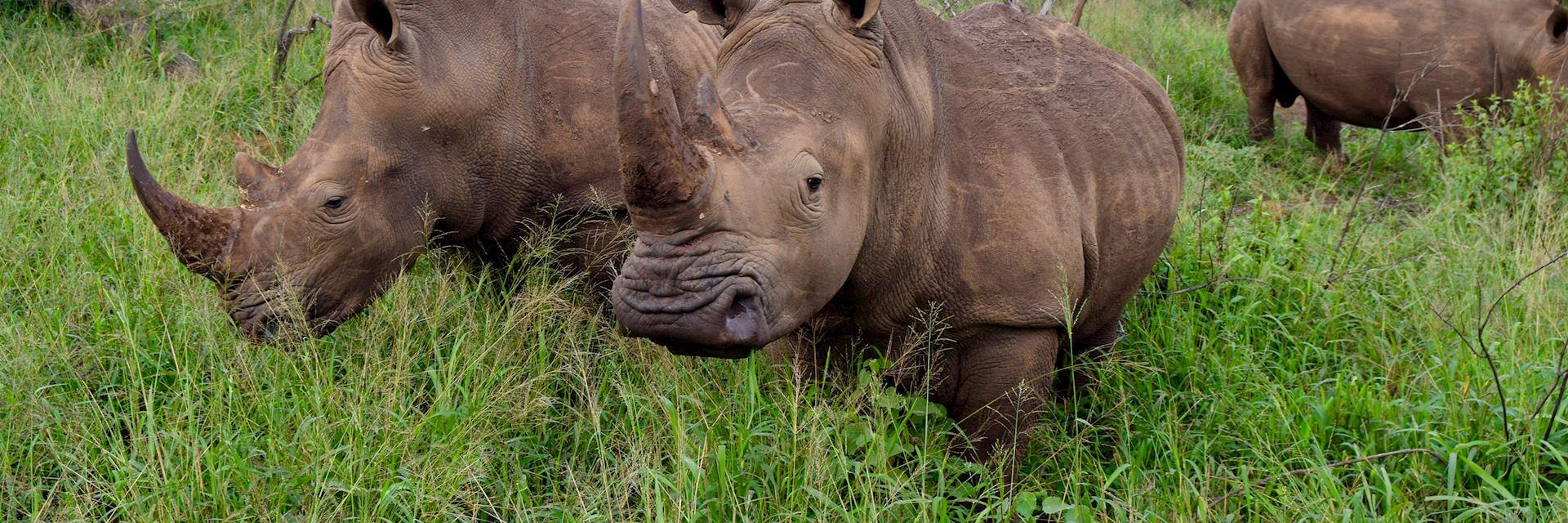White rhino at Thanda Safari Private Game Reserve