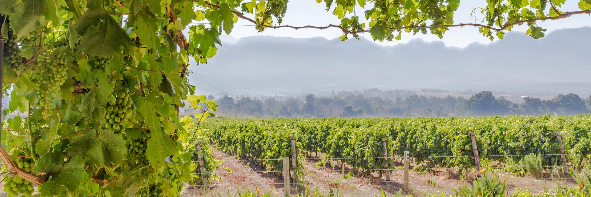 Vineyard in Paarl
