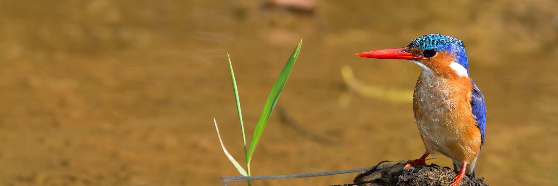 Malachite kingfisher, iSimangaliso Wetland Park