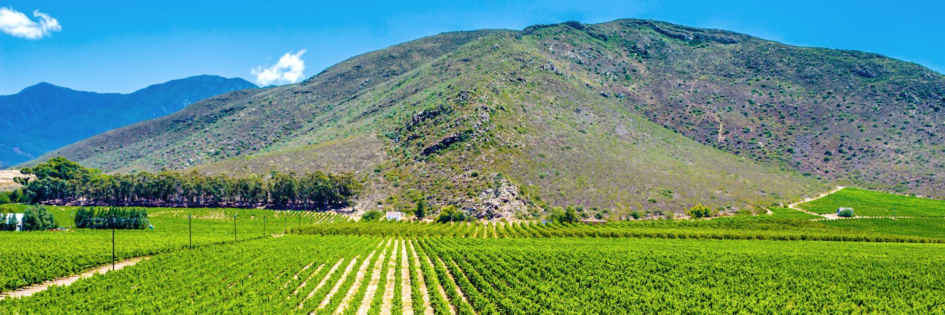 Vineyard in Montagu