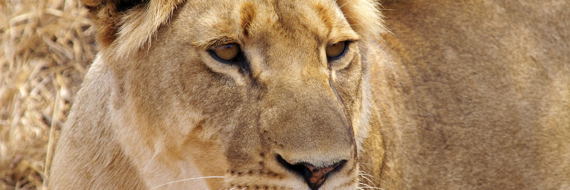 Lioness in Greater Makalali Game Reserve