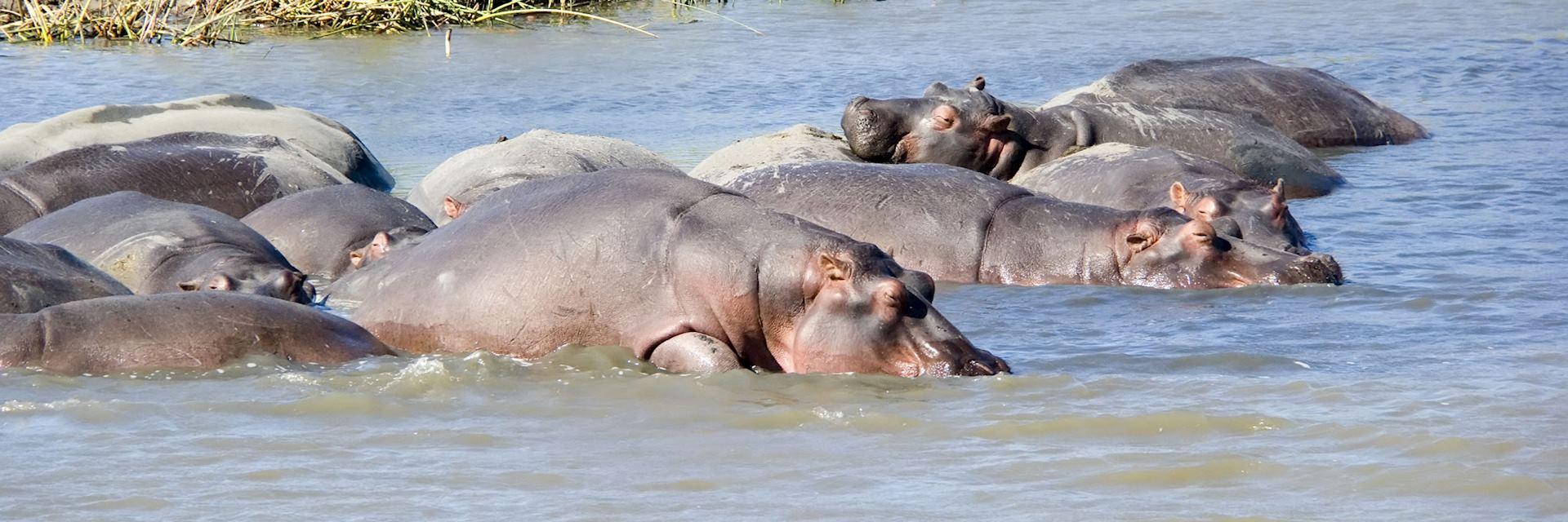 Hippo, Lake St Lucia