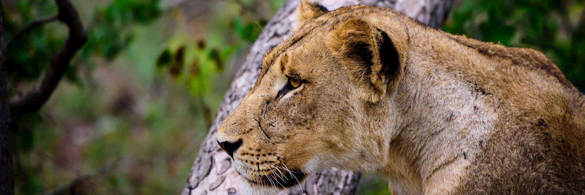 Lioness, Sabi Sands Wildtuin