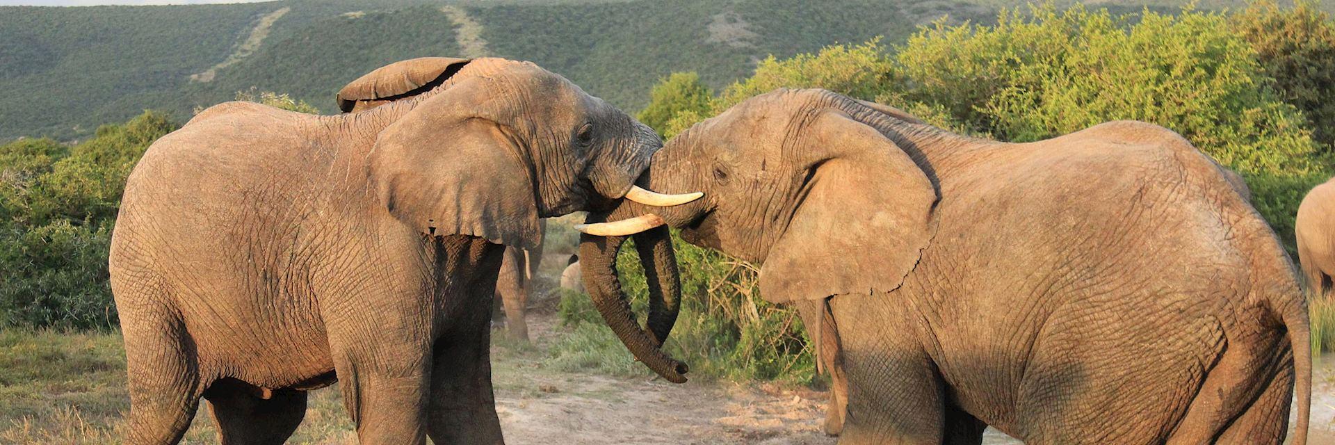 Elephants in Shamwari Private Game Reserve