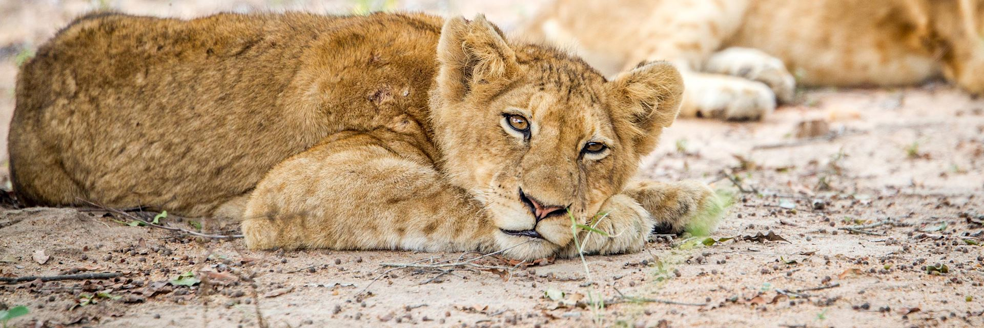 Lion cub in Kapama Private Game Reserve