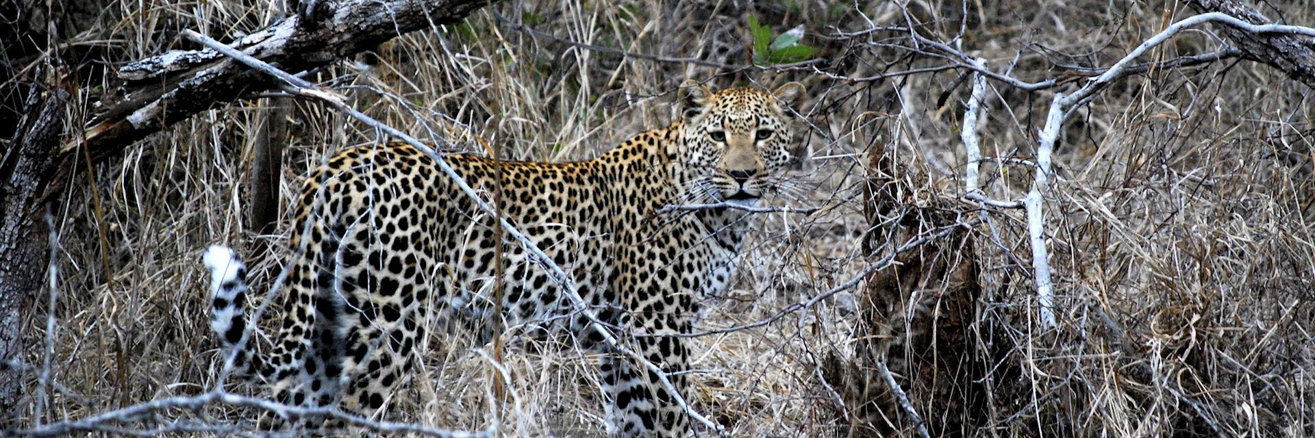 Leopard, Kwandwe Private Game Reserve