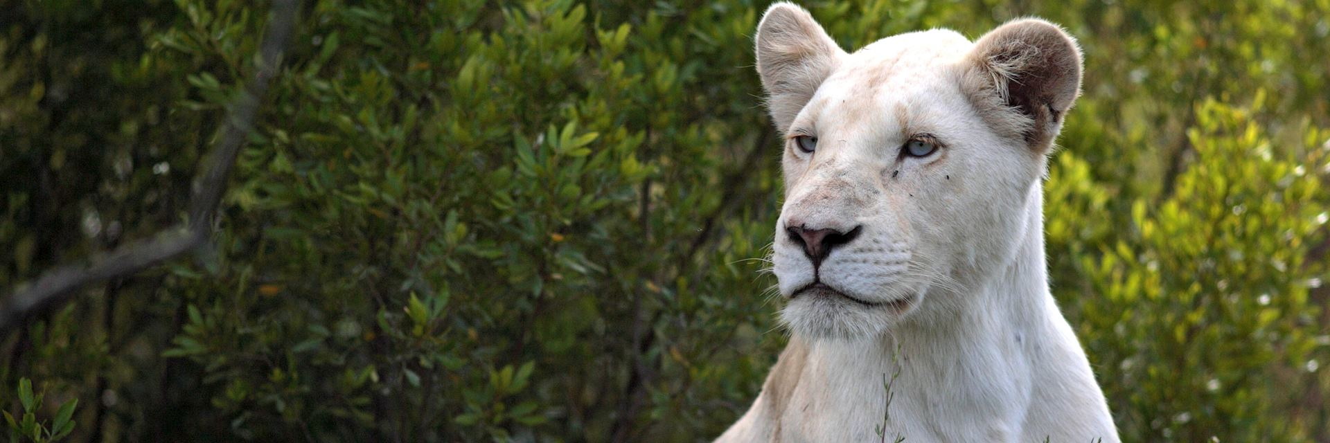 White lioness, Pumba Private Game Reserve