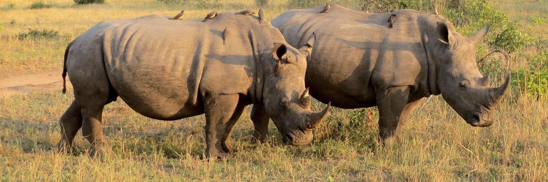 White rhino, Thornybush Reserve, South Africa