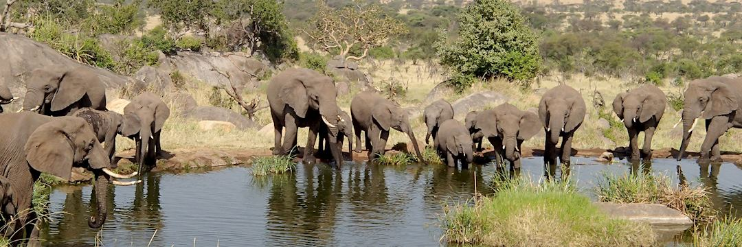 Elephants drinking, Serengeti National Park