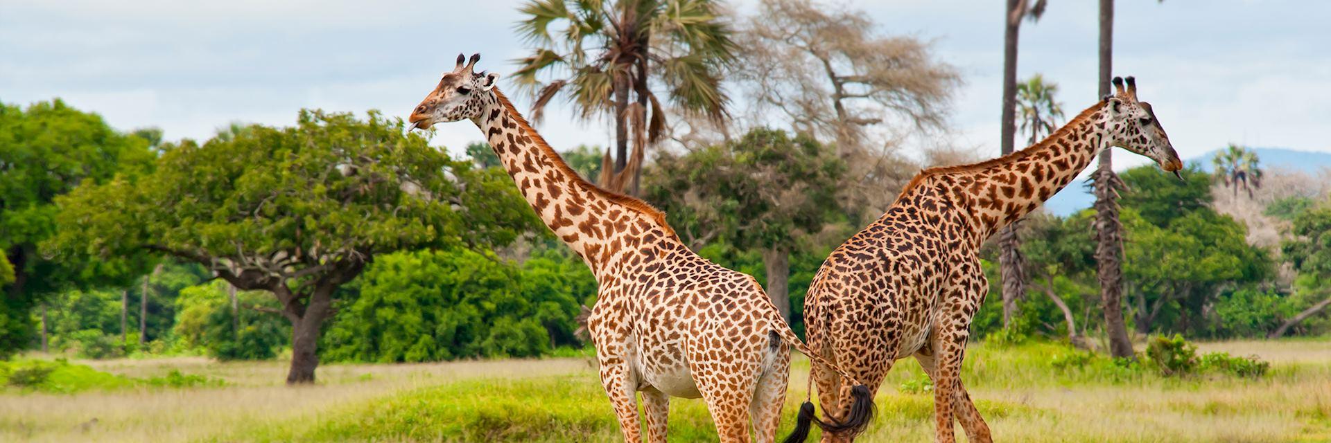 Giraffes in Katavi Naitonal Park