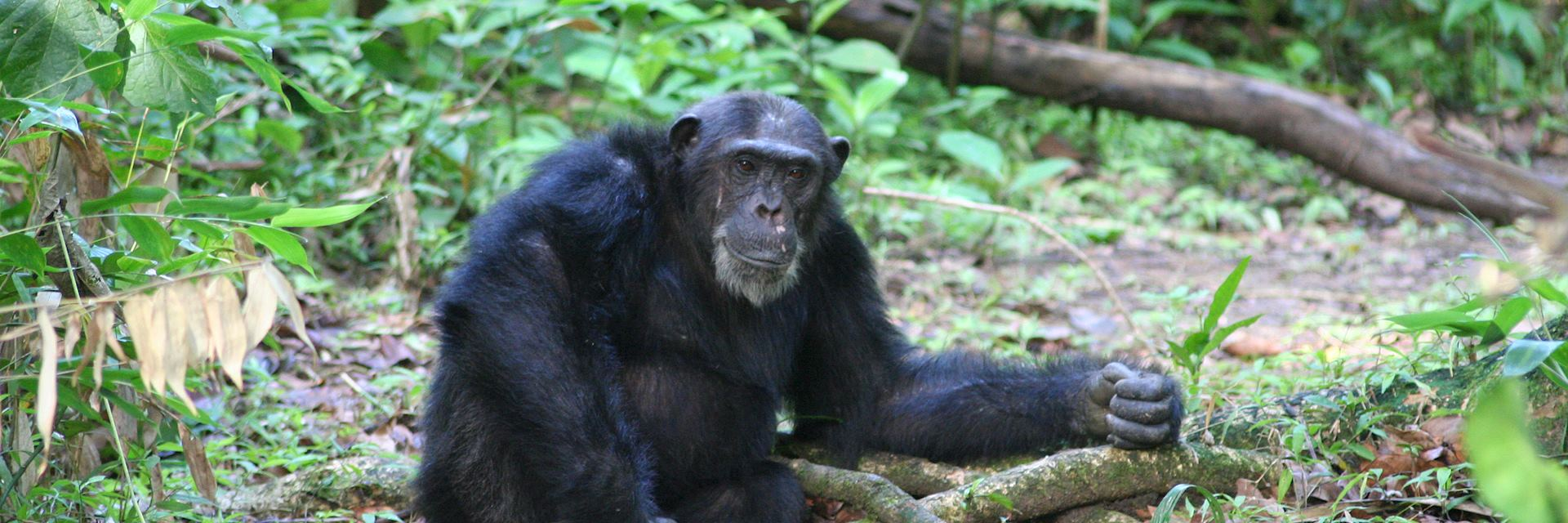 Chimpanzee in the Mahale Mountains National Park, Tanzania