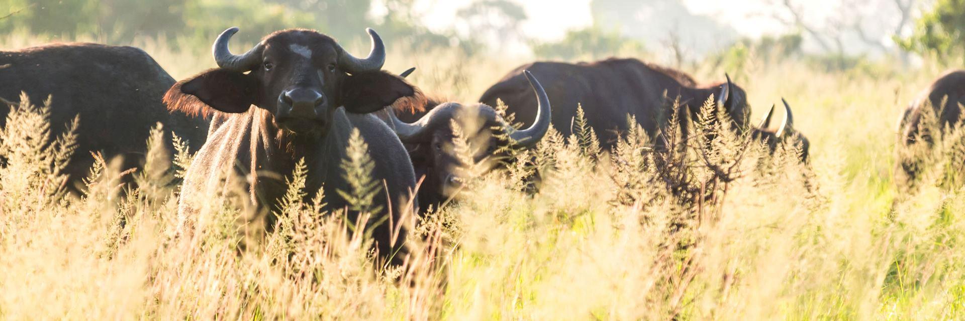 Cape buffalo, Saadani National Park