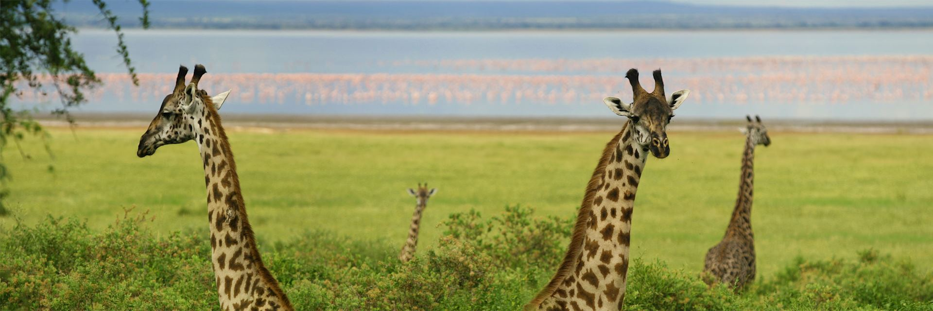 Giraffes in Lake Manyara National Park