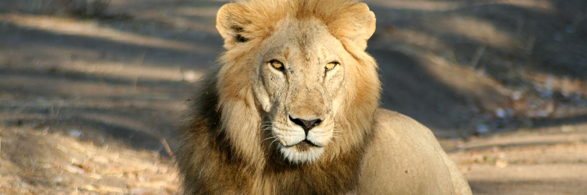 Lion, Ruaha National Park