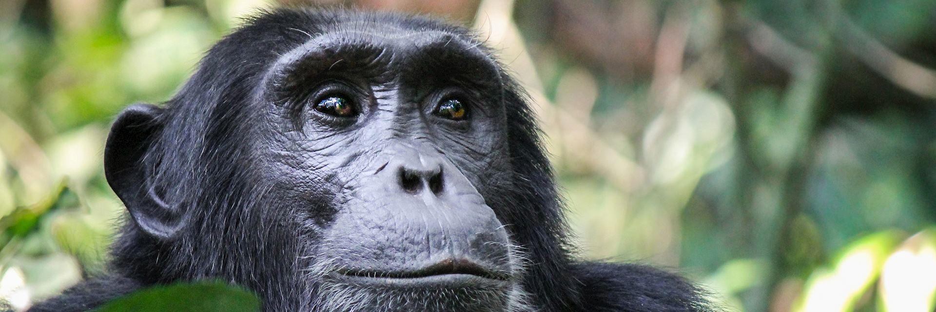 Chimpanzee on Rubondo Island
