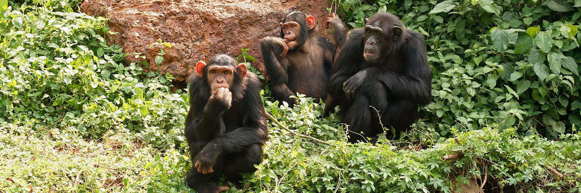Chimpanzee, Kibale Forest National Park