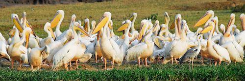 Large Ugandan great white pelicans, Kazinga Channel