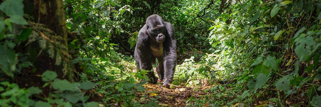 Mountain gorilla, Bwindi Impenetrable Forest