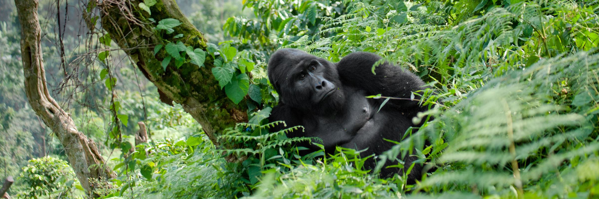 Mountain gorilla, Bwindi Impenetrable Forest National Park, Uganda